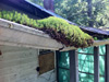 Nature was beginning to reclaim the homestead. A rain gutter with a clogged downshout provided a good place for new vegetation.